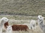 More alpaca in the paramo