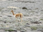 Another elegant vicuna