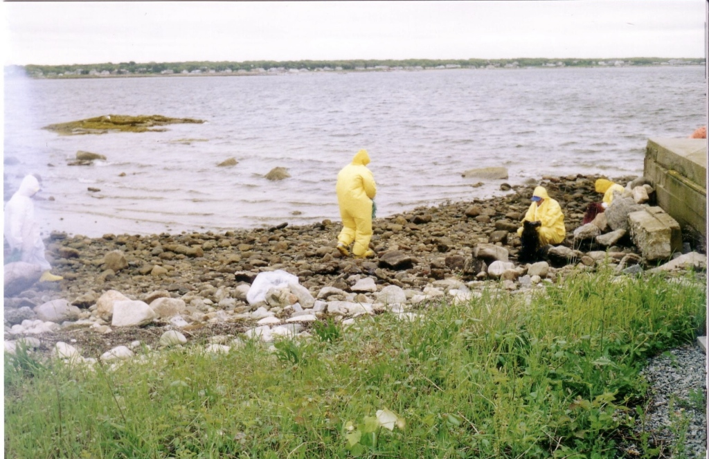 Beach clean-up crews remove rocks that were oiled in the Bouchard 120 spill. (Photo courtesy of Cathryn Brower)