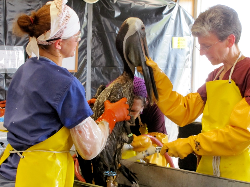 Dr. Erica Miller (right) washes oil from a distressed pelican at a bird rescue center in Venice, La. (Photo by Becky W. Evans)